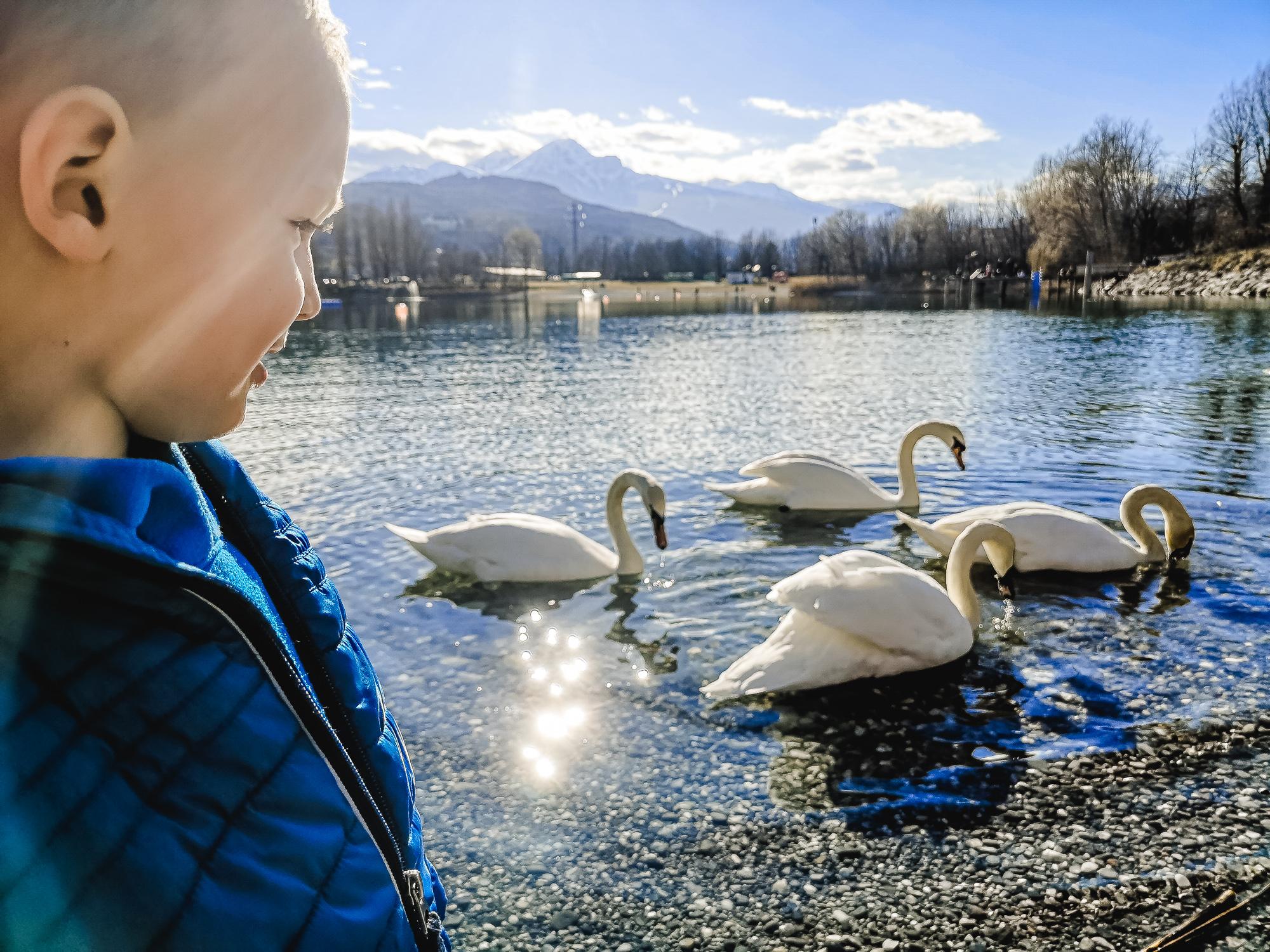 Schwäne am Baggersee Innsbruck